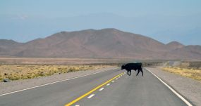 Una vaca cruza la carretera en la provincia de Salta, en el noroeste de Argentina. UNSPLASH/AGUSTÍN LAUTARO