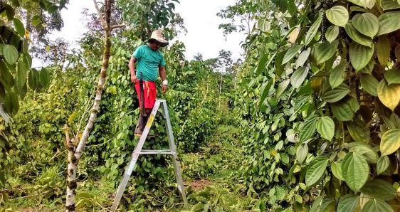 Neyder Fernando Culchac, en tierras dedicadas al cultivo de pimienta en Valle del Guamuez, Colombia. CORTESÍA